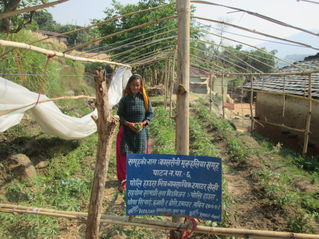 Tomato production in Poly House Mrs. Rupa Bhul at patan